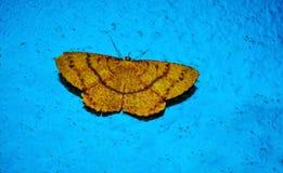美丽的黄色蝴蝶有蓝色背景 免版税库存图片