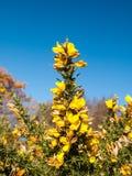 美丽的黄色金雀花开花植物尖刻的秋天树backgro 免版税库存图片