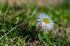 美丽的黄色雏菊花在一好日子 免版税库存照片