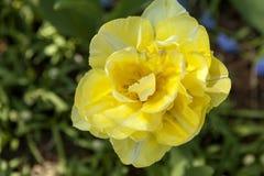 美丽的黄色黄水仙花 免版税库存照片