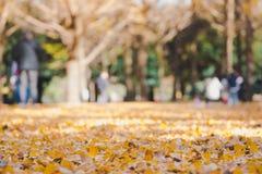 美丽的黄色ginko叶子在有被弄脏的家庭的公园享受远足在公园,秋天 库存图片