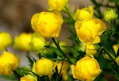 美丽的黄色Globeflowers欧洲人 红色书的花 免版税库存图片