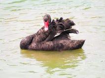 美丽的黑天鹅 图库摄影