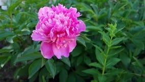 美丽的黑暗的桃红色牡丹在庭院里 花特写镜头 股票录像