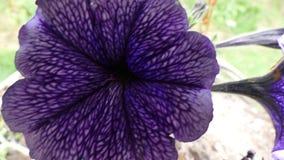 美丽的黑暗的自负的紫色蝴蝶花花 库存图片