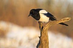 美丽的黑白鸟坐分支 免版税库存图片