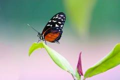 美丽的黑红色老虎longwing的蝴蝶 图库摄影