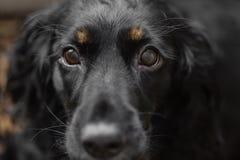 美丽的黑西班牙猎狗狗特写镜头画象  在眼睛的重点 大狗要找到家庭和留下狗 库存照片