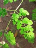 美丽的鼓槌树叶子 免版税库存图片