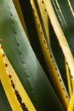 美丽的龙舌兰植物 免版税库存图片