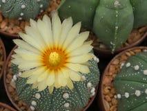 美丽的仙人掌花在庭院里 免版税库存照片
