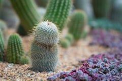 美丽的仙人掌,刺,在沙子 图库摄影