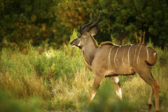 美丽的更加伟大的Kudu公牛 免版税库存图片
