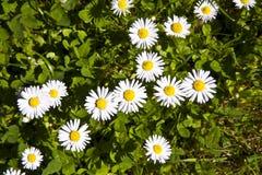 美丽的延命菊 免版税库存图片