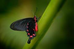 美丽的黑和红色毒物蝴蝶, Antrophaneura semperi,在自然绿色森林栖所,野生生物,印度尼西亚 库存照片