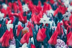 美丽的黄水仙和郁金香 在著名Keukenhof的开花的花 免版税库存照片
