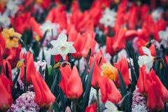 美丽的黄水仙和郁金香 在著名Keukenhof的开花的花 图库摄影