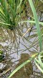 美丽的稻在户外水海洋 库存图片
