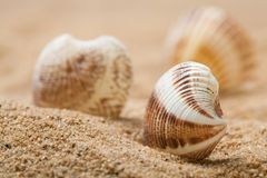 美丽的贝壳 免版税库存图片