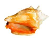 美丽的贝壳 免版税图库摄影