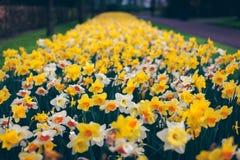 美丽的黄水仙 开花的花在著名Keukenhof公园 免版税库存图片