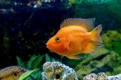 美丽的水族馆装饰橙色鹦鹉鱼 免版税库存照片