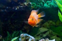 美丽的水族馆装饰橙色鹦鹉鱼 库存照片