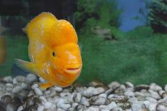 美丽的水族馆鱼Amphilophus citrinellus 免版税图库摄影