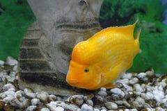 美丽的水族馆鱼Amphilophus citrinellus 库存照片