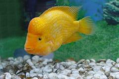 美丽的水族馆鱼Amphilophus citrinellus 库存图片