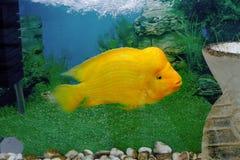 美丽的水族馆鱼Amphilophus citrinellus 免版税库存照片