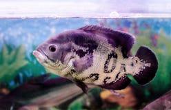 美丽的水族馆鱼Astronotus 库存图片