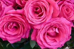 美丽的黑暗的桃红色玫瑰 库存照片
