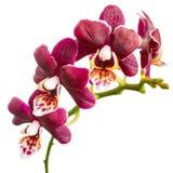美丽的黑暗的紫色兰花,兰花植物的开花的枝杈是 免版税图库摄影