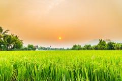 美丽的稻有好的背景 免版税库存图片