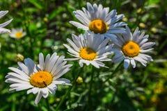 美丽的晴朗的春黄菊开花特写镜头 免版税库存图片
