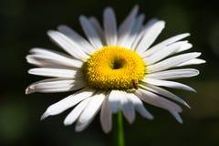 美丽的晴朗的春黄菊开花特写镜头 库存图片