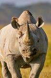 美丽的黑犀牛画象 库存图片
