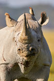 美丽的黑犀牛画象 图库摄影