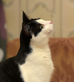 美丽的黑白猫 库存图片