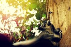 美丽的黑白色野生狐猴在动物园里 特写镜头 定调子 库存照片
