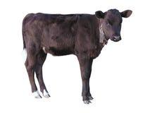 美丽的黑矮小的俏丽的小牛被隔绝在白色 免版税库存照片