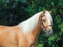 美丽的巴洛米诺马威尔士小马画象  库存照片