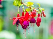 美丽的紫红色的花 库存图片
