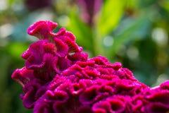 美丽的洋红色Cockscomb鸡冠花cristata开花特写镜头 生动的颜色和蓝色,绿色软的模糊的背景 库存照片