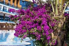 美丽的紫罗兰色九重葛回归线花 免版税库存照片