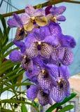 美丽的紫罗兰色兰花万代兰属 免版税库存图片