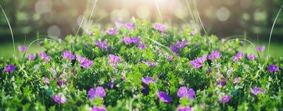 美丽的紫罗兰色吊钟花、绿色和bokeh照明设备在庭院里,夏天室外花卉自然背景 图库摄影