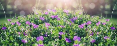 美丽的紫罗兰色吊钟花、绿色和bokeh照明设备在庭院里,夏天室外花卉自然背景 免版税库存图片