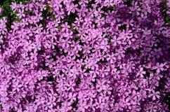 美丽的紫罗兰色小花 库存图片